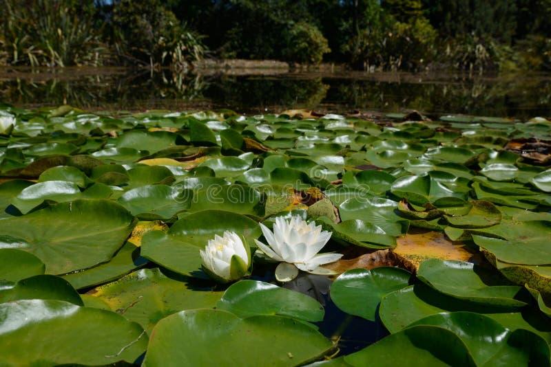 Vita näckrors ner på dammet arkivfoton