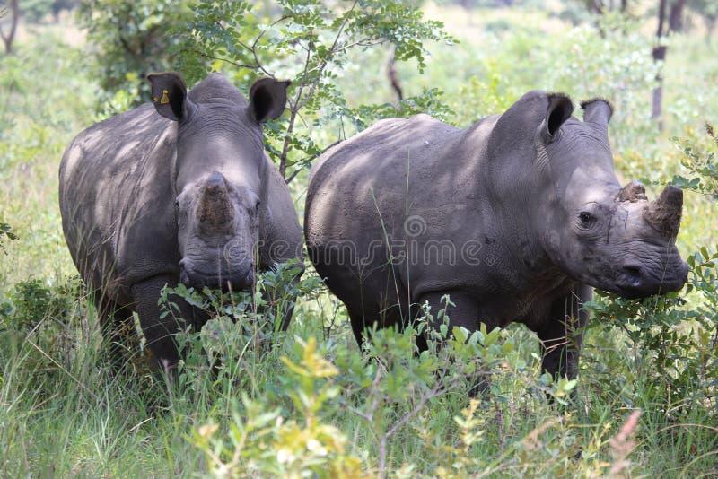 Vita noshörningar i Zimbabwe, Hwange nationalpark arkivbild
