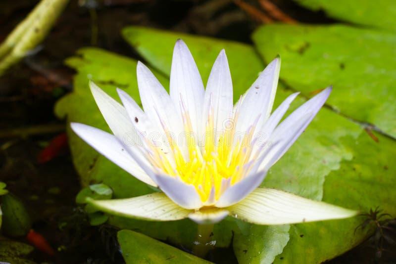 Vita Nymphaeaalbum för älskvärda blommor som kallas gemensamt näckros eller näckros bland gräsplansidor och blått vatten fotografering för bildbyråer