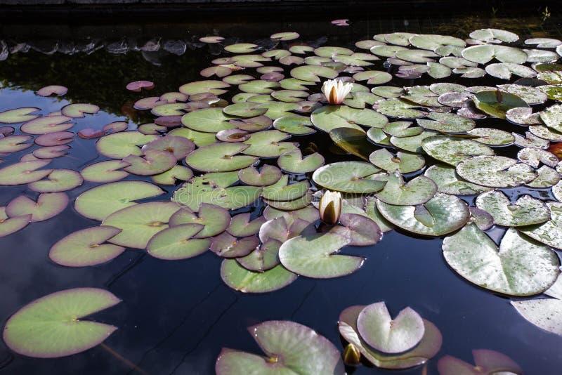 Vita Nymphaeaalbum för älskvärda blommor som kallas gemensamt näckros eller näckros bland gräsplansidor och blått vatten royaltyfria foton