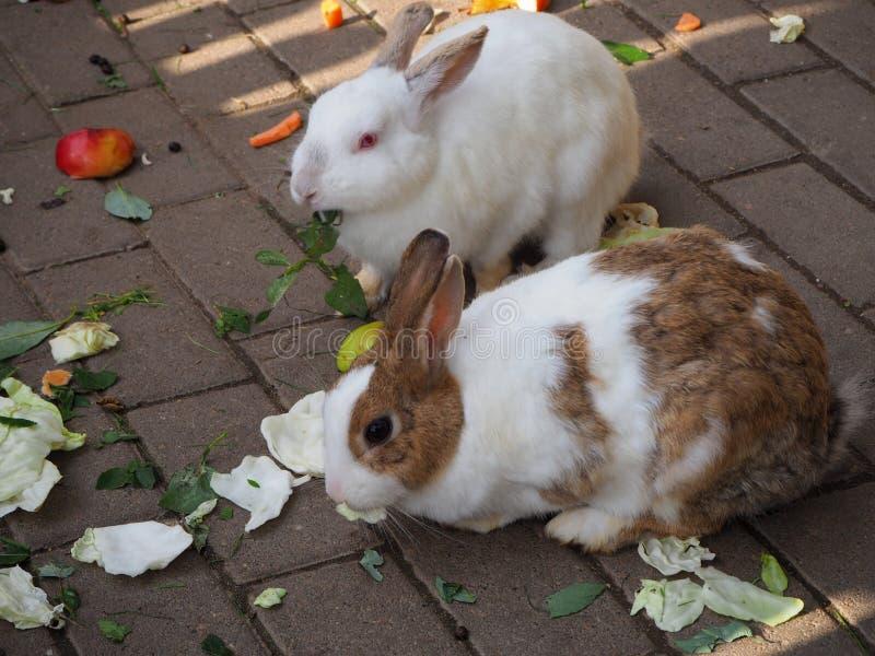 Vita och bruna inhemska kaniner som äter kål och gröna sidor royaltyfri fotografi