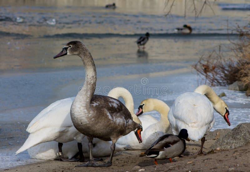Vita och gråa fåglar för svan i en sjö royaltyfri foto
