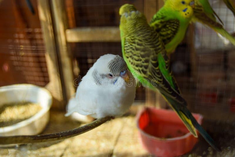 Vita och gröna papegojor i bur royaltyfria foton