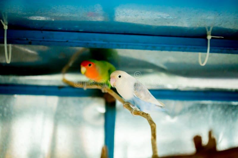 Vita och gröna undulatpapegojor stänger sig sitter upp på trädfilial i bur arkivfoto
