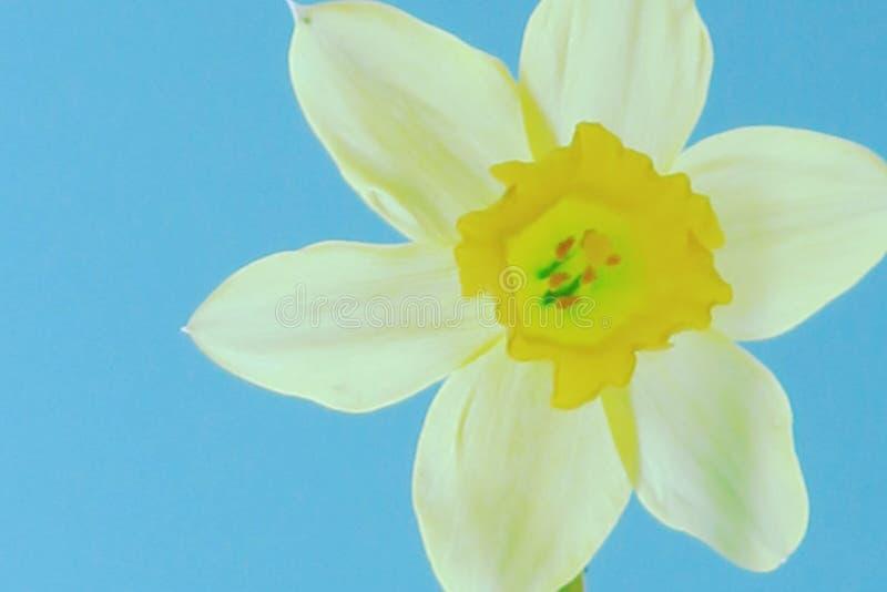 Vita och gula kronblad för påskliljahuvud på ett blekt - blå bakgrund royaltyfri fotografi