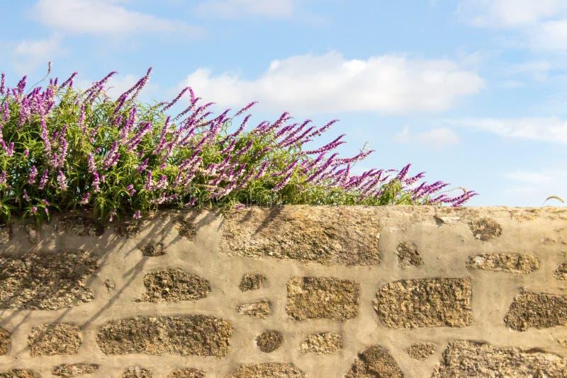 Vita och purpurfärgade blommor på stenstaketet mot bakgrund för blå himmel Blomma blommor på den forntida stenväggen arkivbild