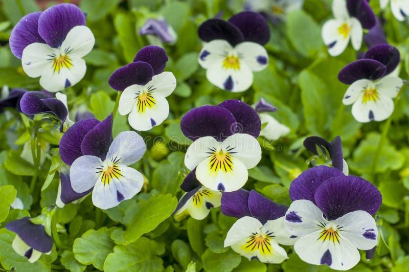 Vita och purpurfärgade pansies i en vårträdgård Den ljusa färgrika penséen blommar på en sommarbakgrund royaltyfria bilder