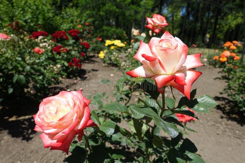 Vita och röda blommor av rosen fotografering för bildbyråer