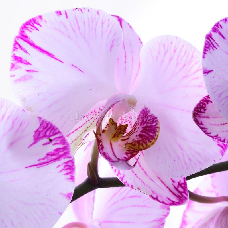 Vita och rosa orkidér på en filial Vit bakgrund royaltyfri fotografi