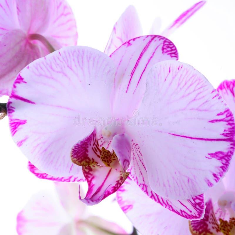Vita och rosa orkidér på en filial Vit bakgrund fotografering för bildbyråer