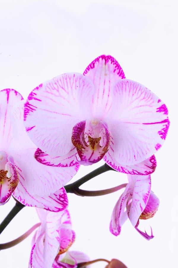 Vita och rosa orkidér på en filial Vit bakgrund arkivfoton