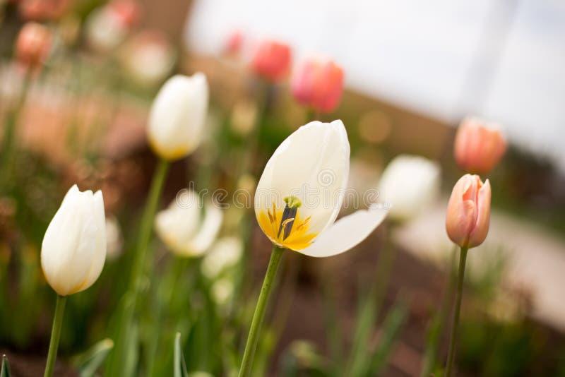 Vita och rosa tulpan i vår arkivfoton