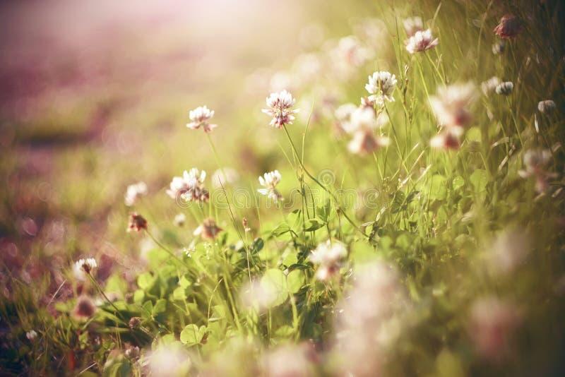 Vita och rosa växt av släktet Trifoliumblommor blommar i den solbelysta ängen royaltyfria bilder