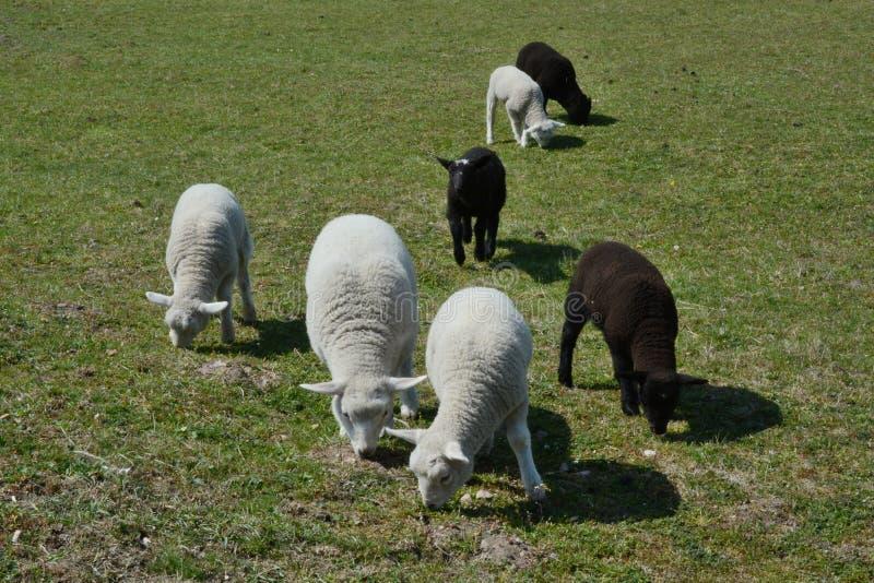 4 vita och 3 svarta lamm i ängen arkivfoto