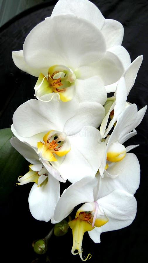 Vita orkidéer mot svart bakgrund royaltyfri bild