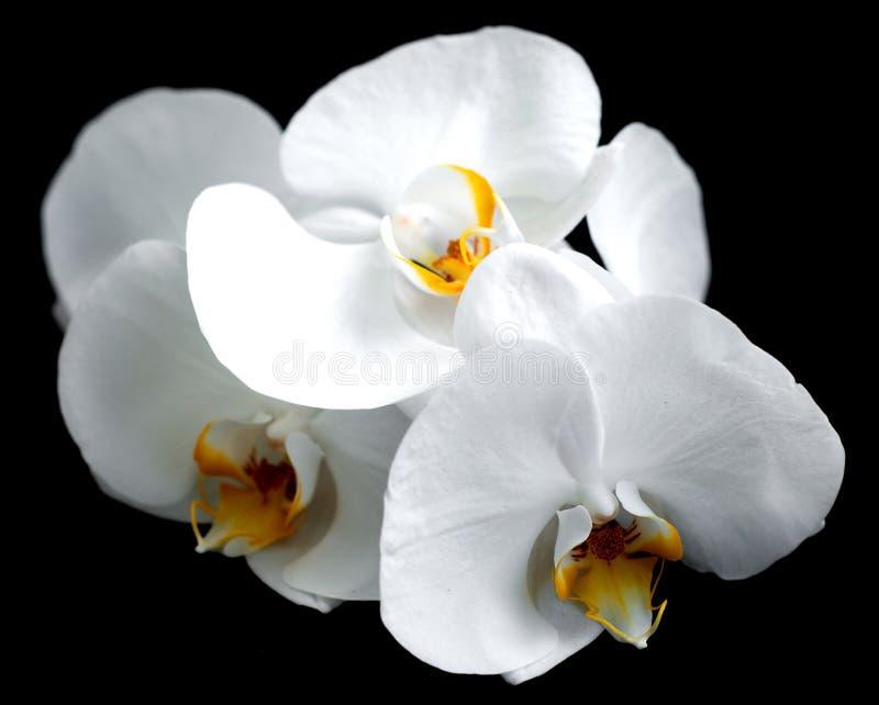 Download Vita orkidér arkivfoto. Bild av bräcklighet, växt, vitt - 37347712