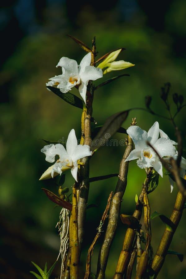 Vita orkidér blommar i skogen arkivfoton