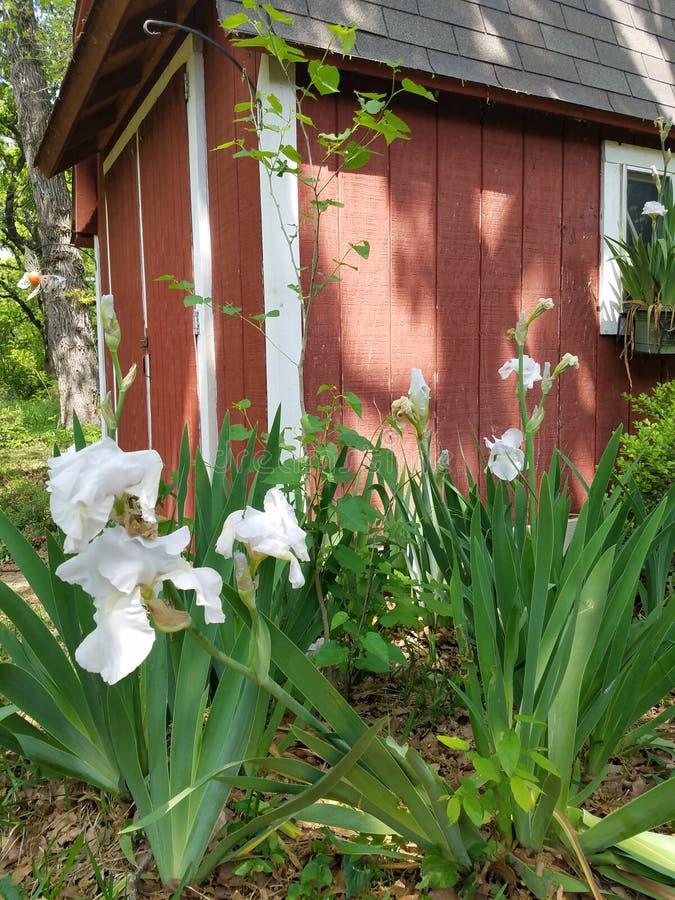 Vita orkidér med den röda ladugården arkivbilder