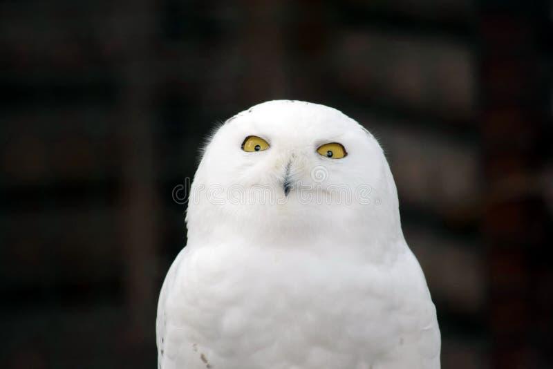 Vita Owl Nyctea Scandiaca arkivfoto