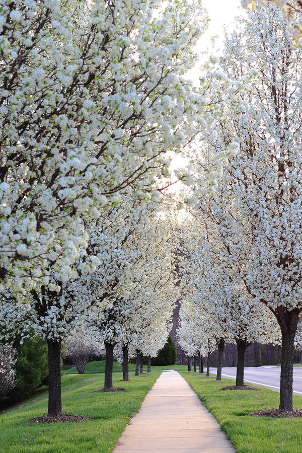 Vita päronträd royaltyfri bild