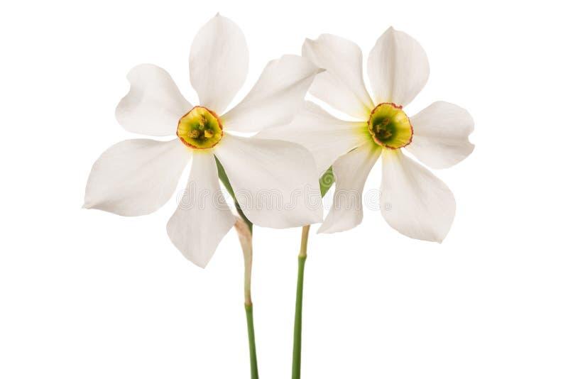 Vita påskliljablommor fotografering för bildbyråer