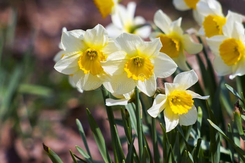 Vita påskliljor arkivbild