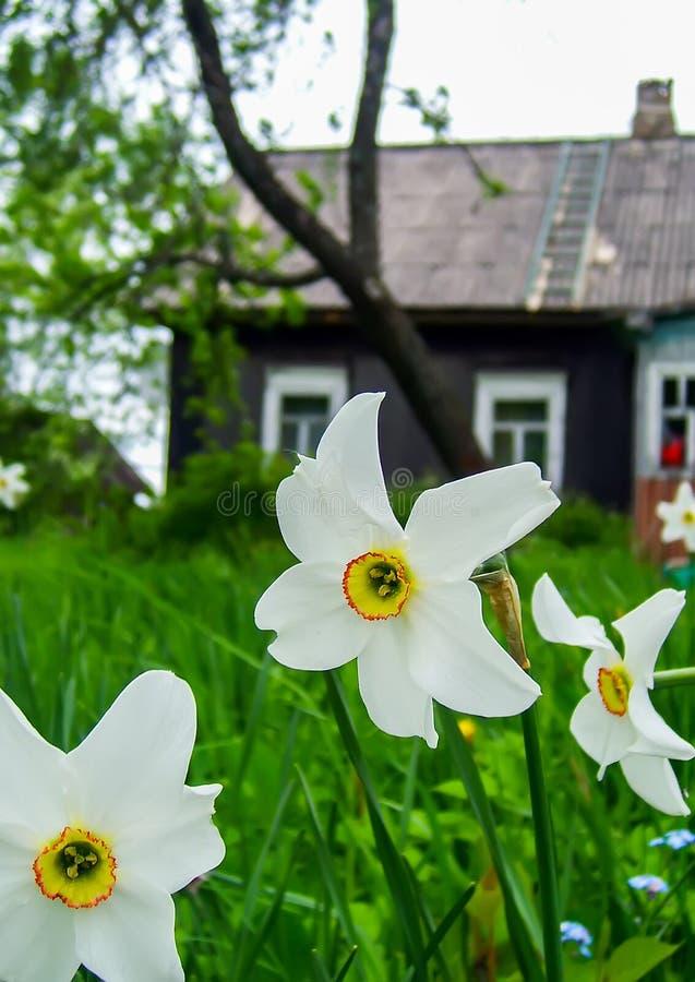 Vita påskliljor med den gula trumpeten royaltyfri fotografi