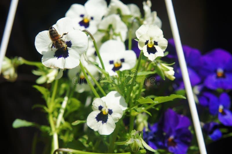 Vita pansies i tr?dg?rdbilden Pansies med ett bi Pollination av blommor arkivfoton