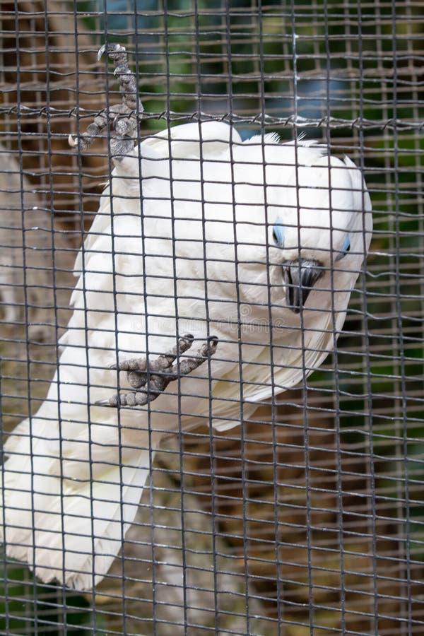 Vita papegojamunkhättor royaltyfri bild