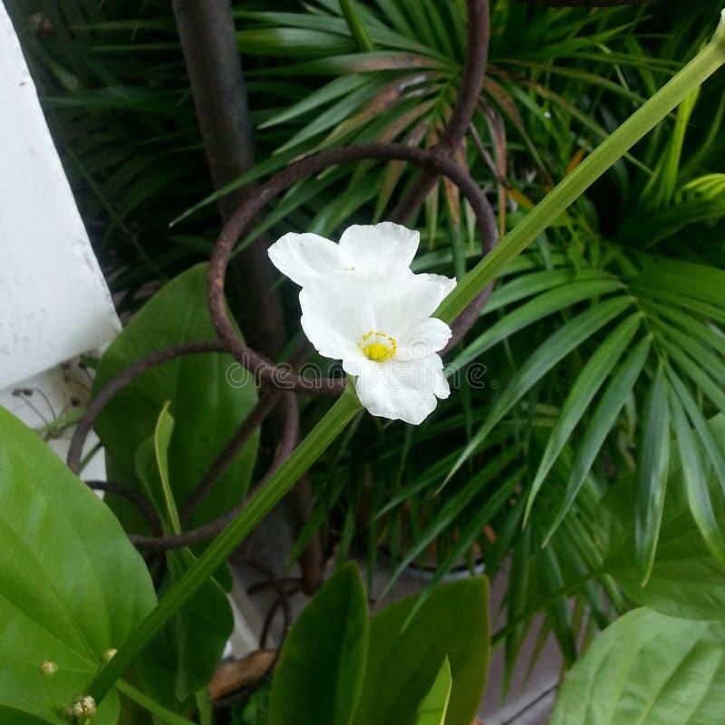 vita petals royaltyfria bilder