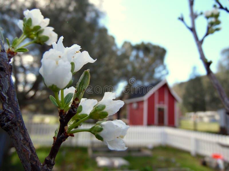 Vita Plum Tree Blossoms Country Setting royaltyfria foton