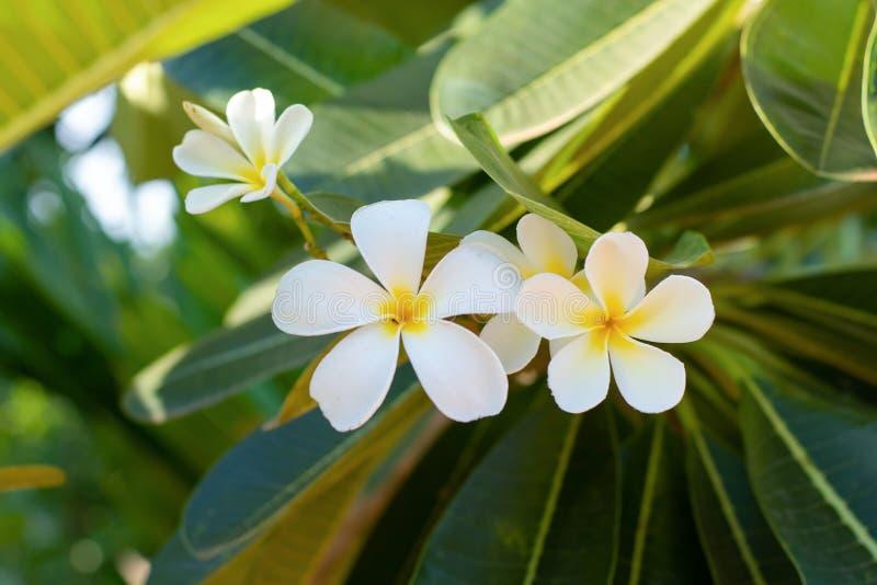 Vita Plumeriafrangipaniblommor med bladet på träd royaltyfria foton