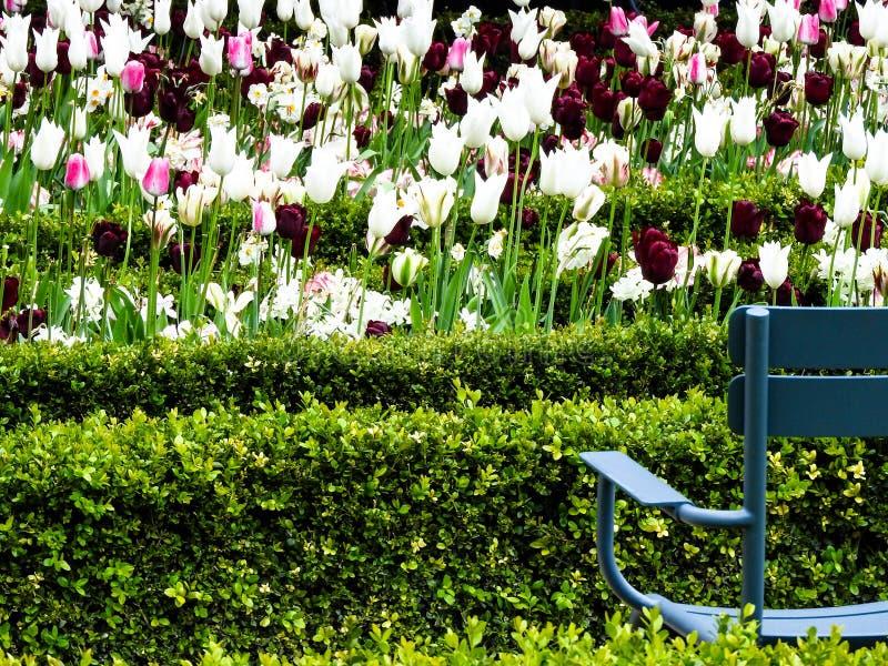 Vita, purpurfärgade och rosa tulpan i parkerar i Amsterdam arkivbild