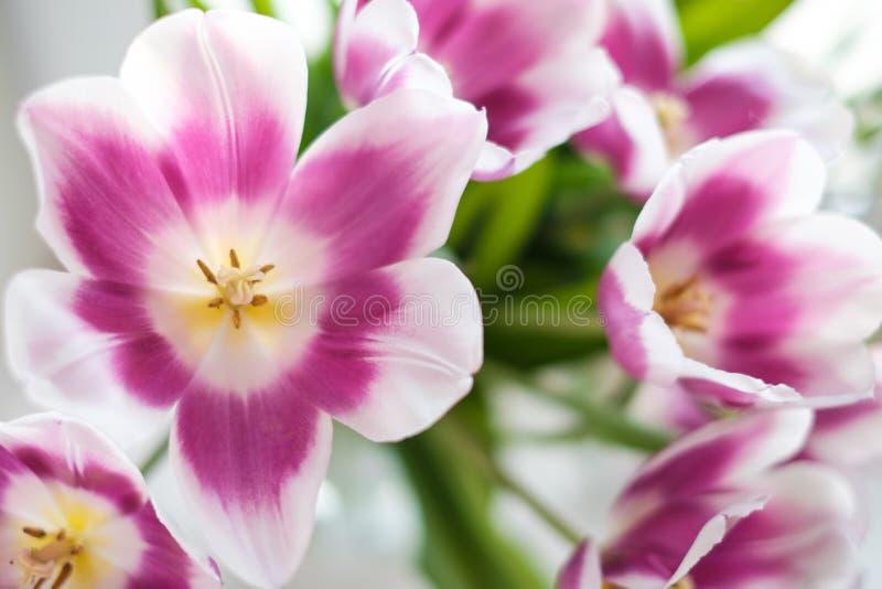 Vita purpurf?rgade tulpan royaltyfri foto