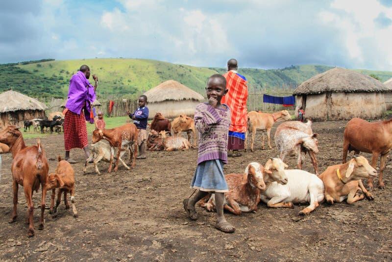 Vita quotidiana della gente masai e del loro bestiame immagini stock libere da diritti