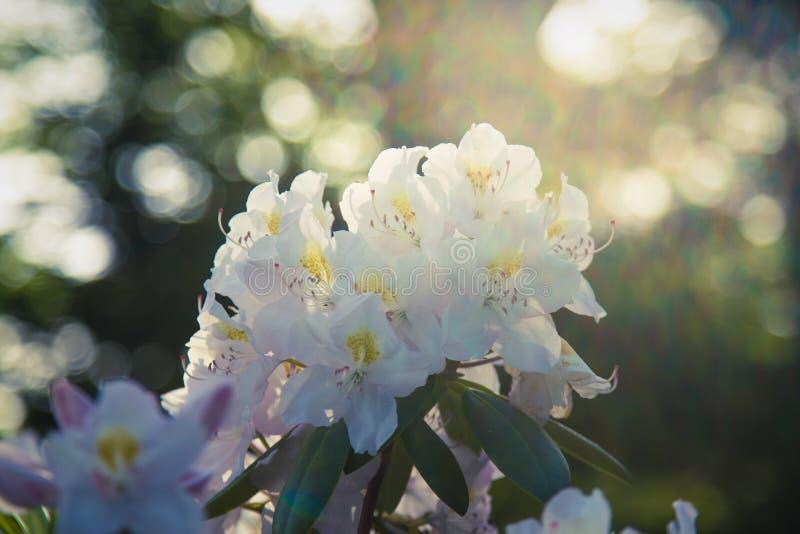 Vita rhododendronblommor som blommar i solen för sen eftermiddag fotografering för bildbyråer