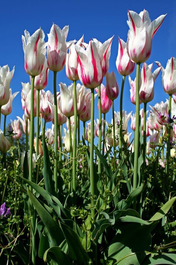 vita rosa tulpan royaltyfri bild