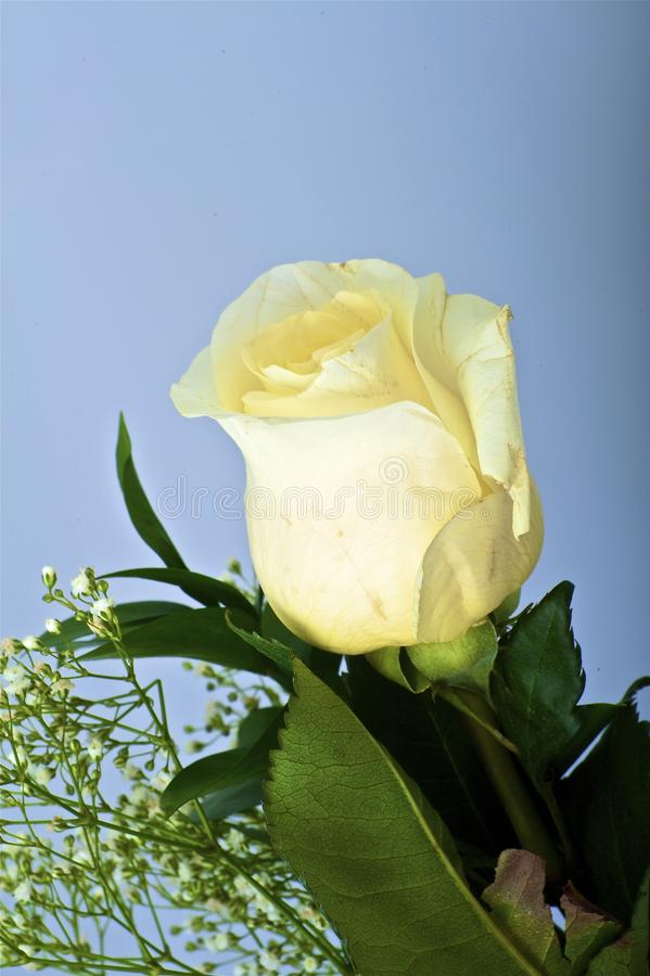 Vita Rose royaltyfria bilder