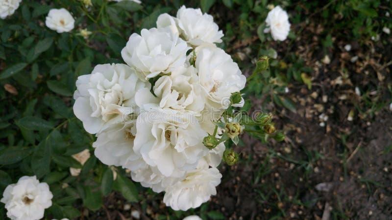 Vita rosess royaltyfri fotografi