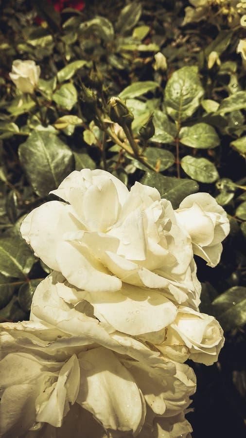 Vita rosor i Ranikhet arkivbilder