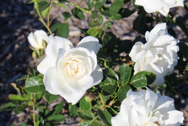 Vita rosor i trädgården av staden parkerar arkivfoton
