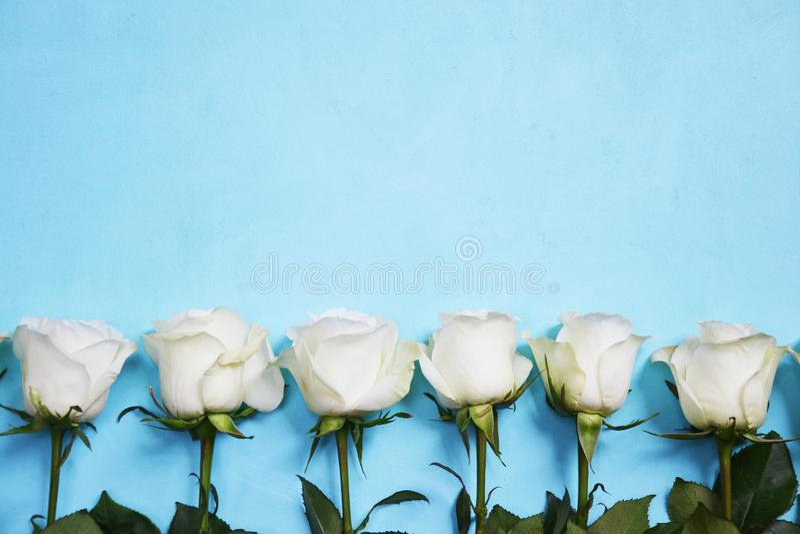 Vita rosor som lokaliseras i linje på blå bakgrund royaltyfri foto
