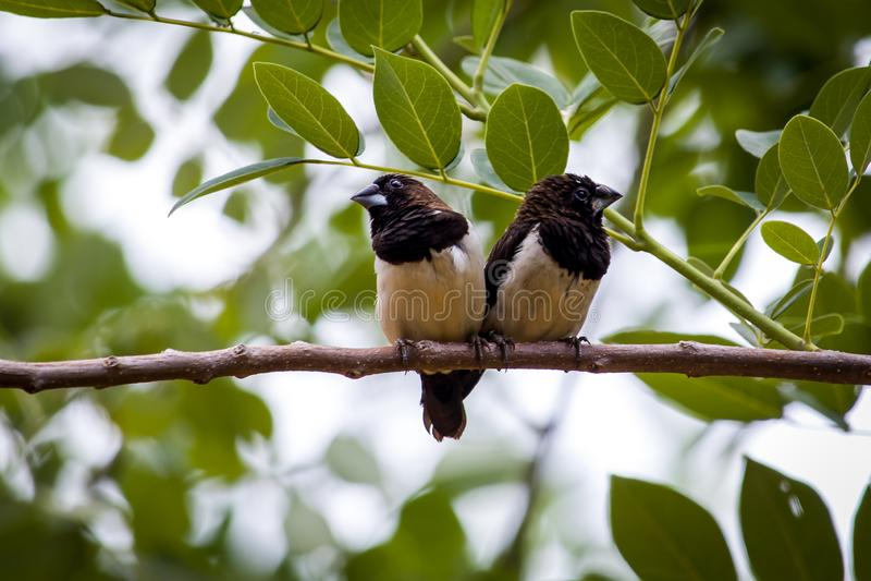 Vita rumped muniafåglar arkivbilder
