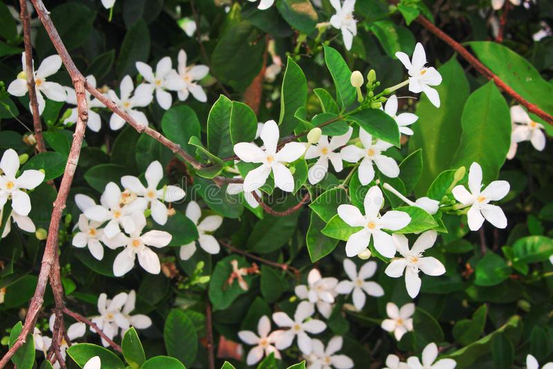Vita sampaguitajasminblommor, naturgrupp som blommar i trädgård royaltyfria bilder