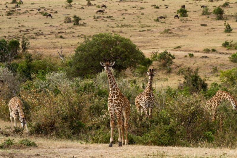 Vita selvaggia di Mara dei masai fotografie stock