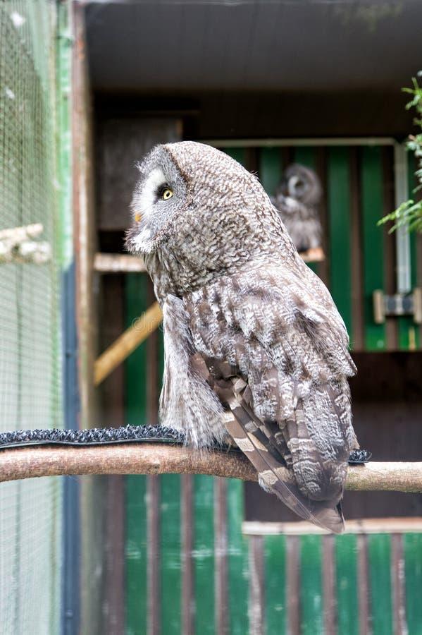 Vita selvaggia Il grande uccello splendido si siede in gabbia Calma e pacifico Concetto di ornitologia Colpo all'aperto del gufo  immagine stock
