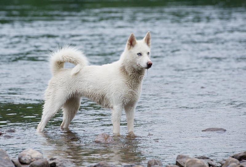 Vita sibirian huskies i floden arkivfoto