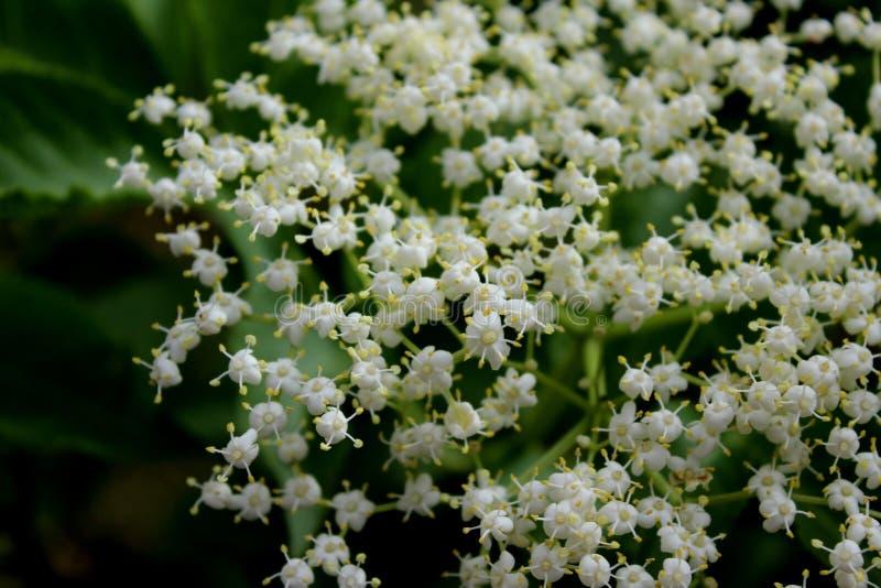 Vita små blommor i trädgården på en mörk bakgrund arkivfoton