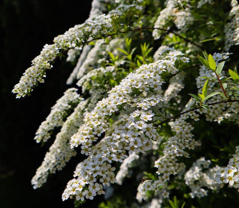 Vita sm? blommor av busken f?r thunbergii f?r Thunberg spireaSpiraea i blomning royaltyfria bilder