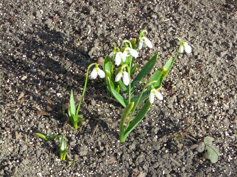 vita snowdrops h?rlig blommafj?der arkivbild